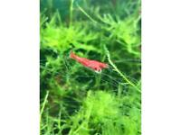 Cherry Shrimp Red - £7.50 for TEN!
