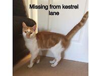 Missing cat- simba
