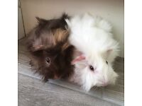 2 Handsome Male funky haired guinea pigs.