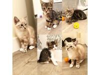 4 adorable kittens 8 weeks old