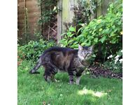 Missing Tabby Male Cat **Reward of £250** if found alive