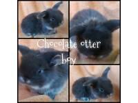 Baby mini lops