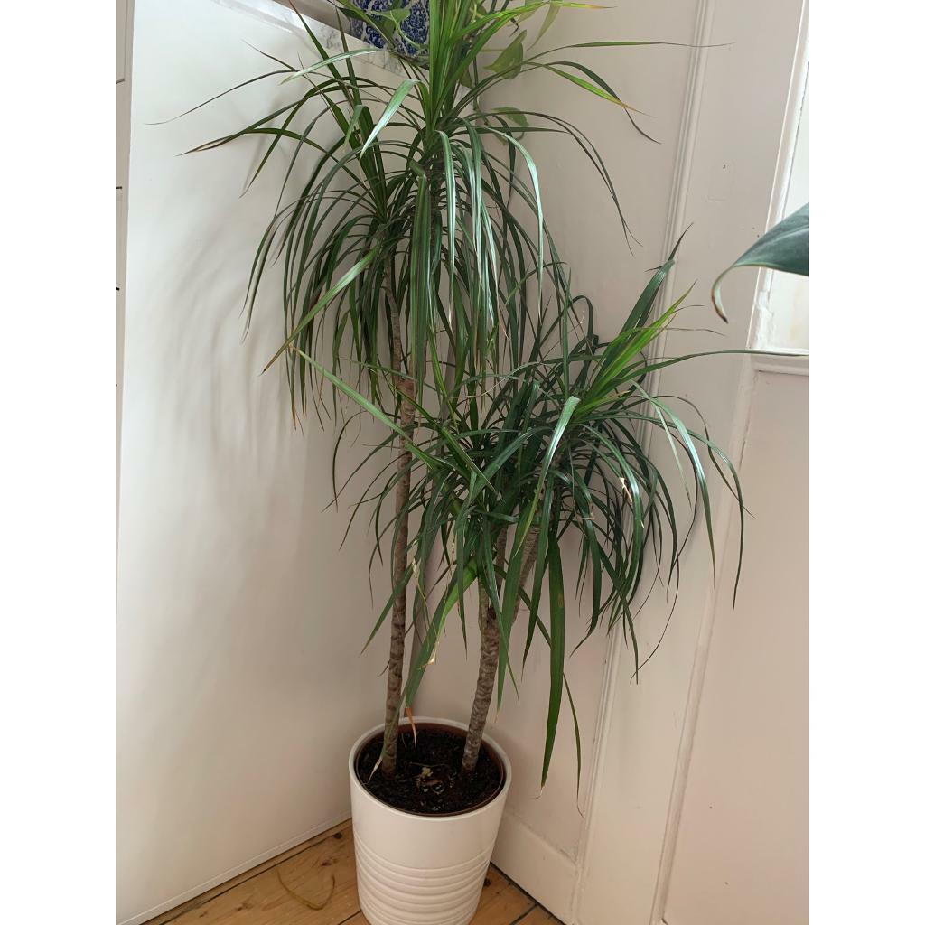 Plant And Pot In Comely Bank Edinburgh Gumtree