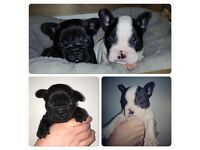 Kc French bulldog puppy's £1200