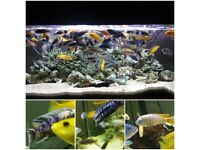 Stunning Colourful Malawi Tropical Cichlids Various types available £4 to £12