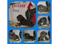 2boy2girl high cvality&bloodline whit kcpedigree.They'r5weeks old.Short,compact,flat face,nice tail