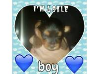 1 Boy Yorkshire Terrier Puppy For Sale