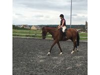 16.2hh bay thoughbred for summer loan