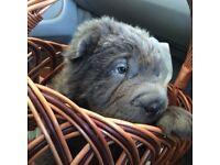 Beautiful bear coat shar peis!
