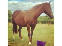 Gentle 14.2hh mare for loan