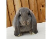 Opal French lop baby buck