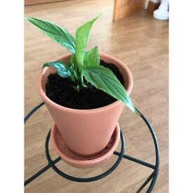 Peace lily in concrete pot