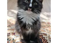 Persian X Norwegian forest kitten Beautiful