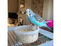 Missing budgie! Weston-s-Mare/Milton/Worle area (22.7.16)