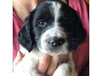 Quality KC Registered Springer Spaniel pups