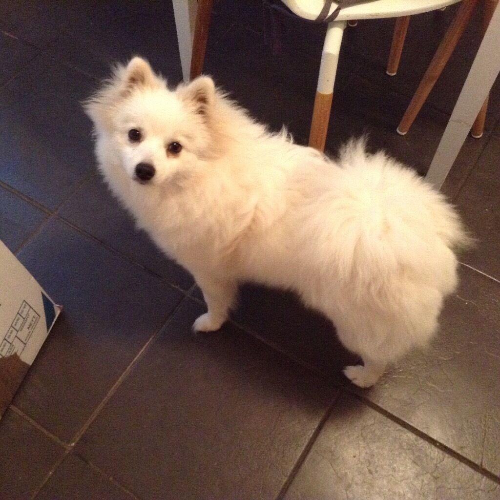 Pomeranian girl pup