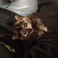 6 week old kittens for sale