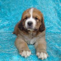 st.bernard/mountian dogs for adoption to great familys