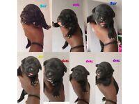 Labrador x staffy puppies