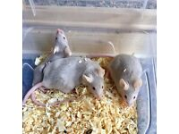 3 female fancy mice. 3 for £10.