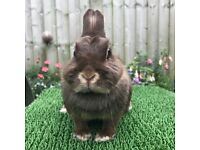 Chocolate Otter Netherland Dwarf Rabbit