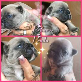 French Bulldog Puppies Ready 18th December