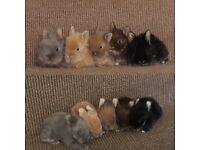 Five Lionlop rabbits