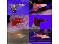Young Guppies ~ Male and Female