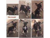 Kc reg french bulldogs reduced