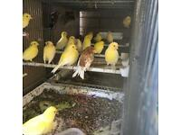 Canaries | Birds for Sale - Gumtree