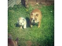 English bulldog pupie girl ready now