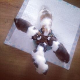 Shih tzu puppies £400 full breed mum and dad an be seen come with vaccinations and full vet check