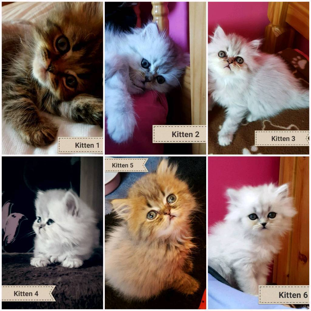 Persian cats for sale tyne and wear