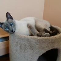 Lost female blue point Siamese cat Upper Coverdale area