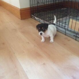 5 beautifully marked jackrussell puppies for sale