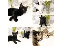 6 beautiful kittens ready now 8 weeks old