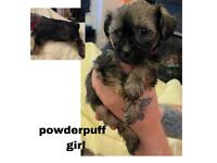 Pure Chinese crested pups , hairless and powderpuffs
