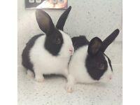 2 Dutch Buck rabbits 9 weeks old