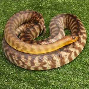 Woma Python Adult Male Howard Springs Litchfield Area Preview