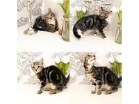 2 beautiful Tabby Kittens Ready now 8 weeks old