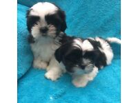 Shih-tzu puppies.