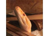 Albino burmese python with 7 foot vivarium
