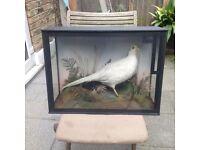 Classic victorian taxidermy - white pheasant hen