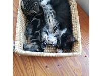 9 week old kittens for good home