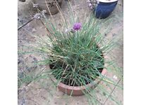 Chives plant in terracotta pot.