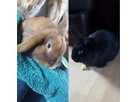 2 gorgeous and friendly drawf lop rabbits for sale.