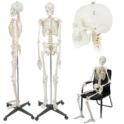 """Life Size Medical Anatomical Human Skeleton Model with Rolling Stand 180cm/70.8"""""""