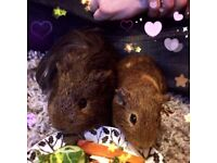 Two male guinea pigs up for adoption! can be separated, please read ad