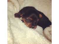 Miniature Yorkshire Terrier Puppies, brought up in a loving home. 2 boys and 1 girl available