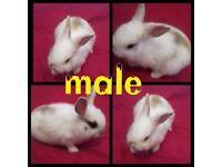 Male Lion head x mini lop